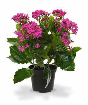 Umetna rastlina Kalanchoa vijolična 30 cm