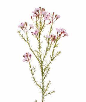 Umetna veja Chamelaucium uncinatum roza 65 cm