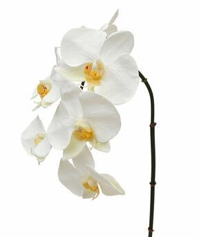 Umetna veja orhideja bela 55 cm